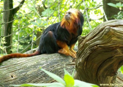 Apenheul, monos, zoológico, reserva natural