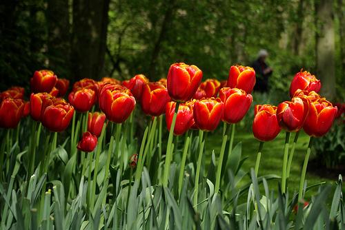Tulipanes, uno de los símbolos de Holanda