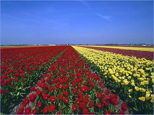 Los campos de flores en Holanda