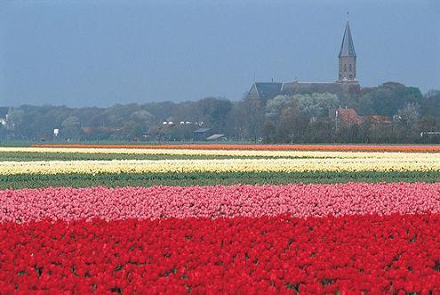 Tulipanes de Holanda